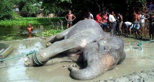 Flood-hit elephant that travelled 1700km dies in Bangladesh